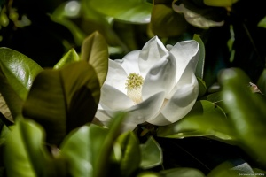 Magnolia blossom at the historic Magnolia Cemetery in Charleston SC